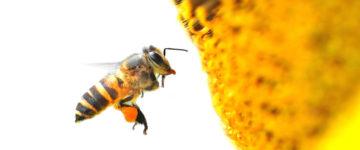 abeille_fleur